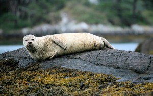 Common Seal at Garnish Island Co  Cork