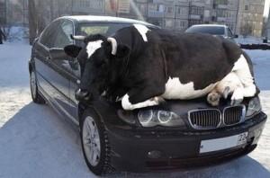 040115-Viralnova-Cow on car copy