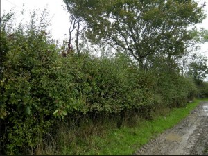 Hedgerow along lane copy