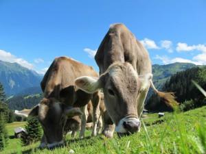 #2-Petapixel-cows-cow-203460_1920-740x555