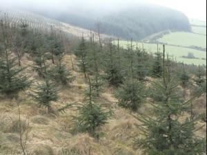 affforestation copy
